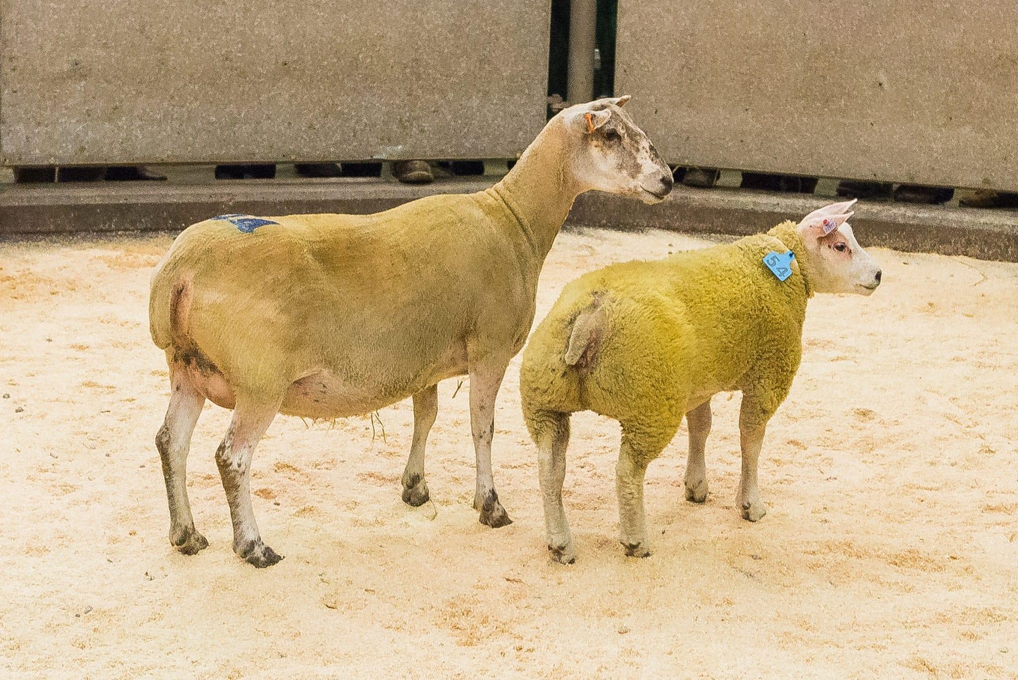 Newark Ewes & Lambs 6 May 2017 | Beltex Sheep Society